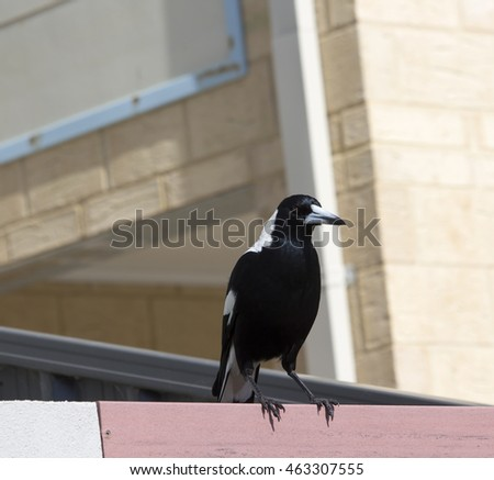A black and white Australian magpie perches  on a front  fence of a house near  Big Swamp  Bunbury western Australia on a fine sunny day in late winter.