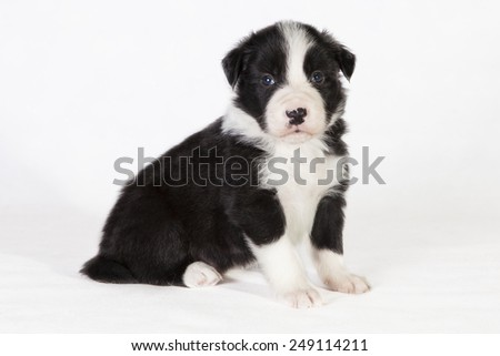 A black and white Border Collie puppy sitting in studio - stock photo