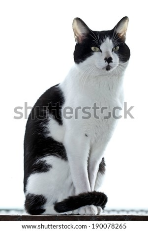 A black and white cat sits upright on a board. - stock photo