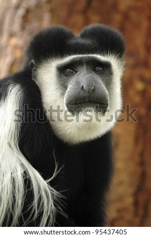 A black and white colobus monkey looking forward - stock photo