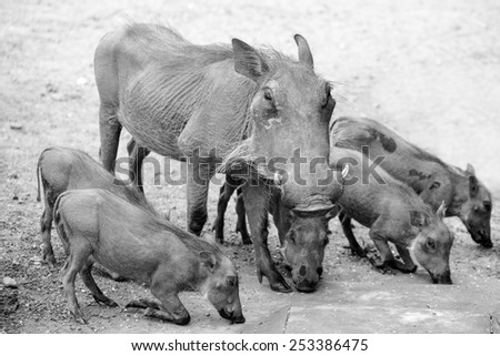 A black and white family of warthogs in the bush, busy eating corn - stock photo
