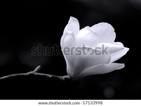 A black and white fine art portrait of the flower from a magnolia tree. - stock photo