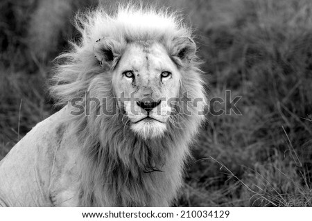A black and white image of a huge male white lion. - stock photo