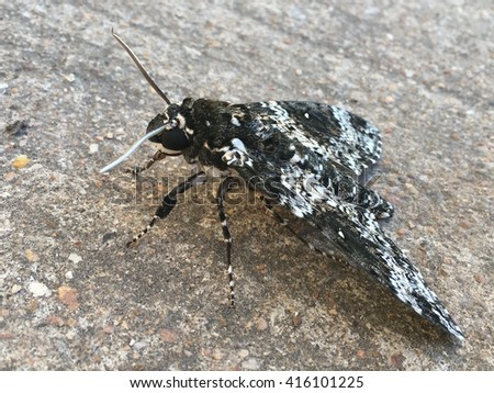 A black and white moth