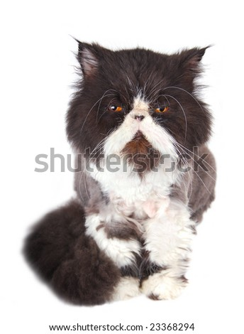 A black and white, orange eyed Persian cat. - stock photo