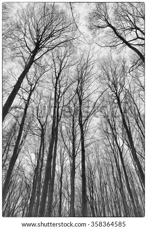 A black and white photo of trees in a forest with a perspective of looking up into the sky and isolate to see only the stem and branches of the trees in Europe