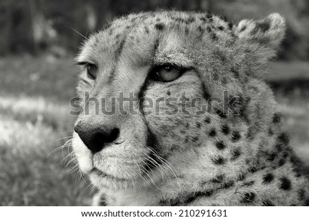 A black and white portrait of a cheetah. - stock photo