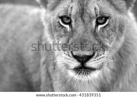 A black and white portrait of a young baby lion cub. Photo taken on safari in South Africa. - stock photo
