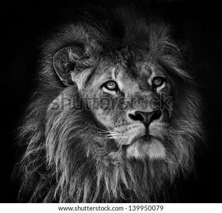 a black and white portrait of of a male lion with mane on a dark background - stock photo