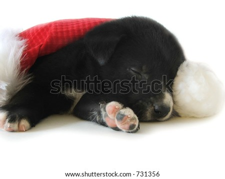 A black and white pup naps under a santa hat. - stock photo