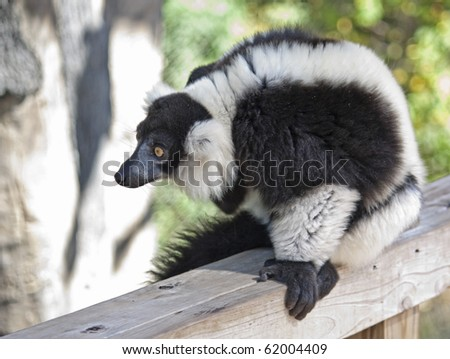 A black and white ruffed lemur at the zoo - stock photo