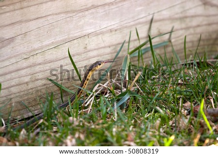 A black and yellow North American Garter snake slithering through the green grass.  Shallow depth of field. - stock photo