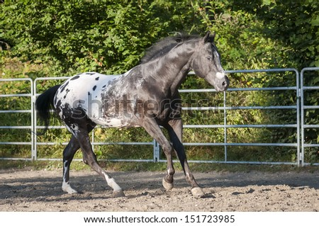 A black appaloosa stallion with white blanket gallops in arena.