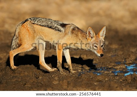 A black-backed jackal (Canis mesomelas) at a waterhole, Kalahari desert, South Africa - stock photo