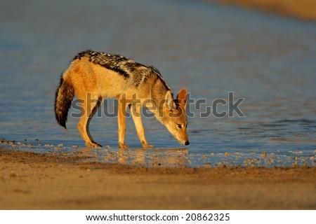 A black-backed Jackal (Canis mesomelas) drinking water, Kalahari desert, South Africa - stock photo
