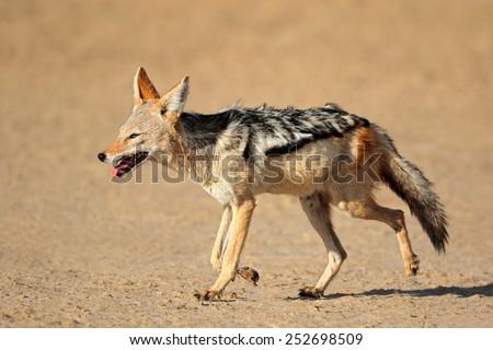 A black-backed Jackal (Canis mesomelas) running, Kalahari desert, South Africa - stock photo