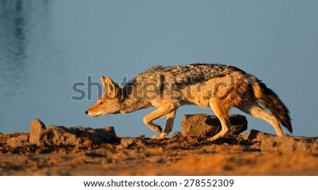 A black-backed Jackal (Canis mesomelas) stalking, Etosha National Park, Namibia - stock photo