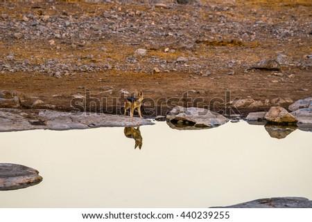 A black-backed jackal (Canis mesomelas) standing at Moringa waterhole in Etosha  national park, Namibia. - stock photo