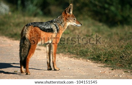 A black backed Jackal in this side on landscape portrait of this unique mammal. Taken in Addo elephant national Park,eastern cape,south africa - stock photo