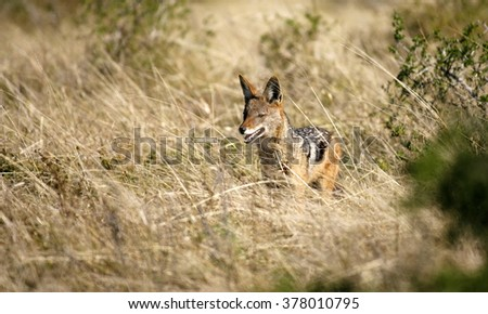 A black backed Jackal in this side on landscape portrait of this unique mammal.Taken in Addo elephant national Park,eastern cape,south africa