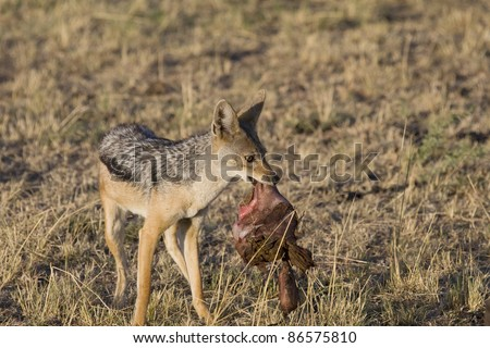 A black-backed jackal scavenges on the insides of a lion's kill. - stock photo