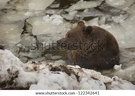 A black bear brown grizzly portrait in the snow while swimming in the ice - stock photo