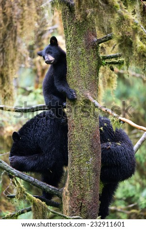 A black bear cub (coy) hangs onto a tree while his mother sits on branches below him in the rainforest, cub is looking to the right while mother is scratching her head - stock photo