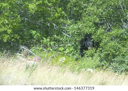 A black bear hiding in the forest in British Columbia - stock photo