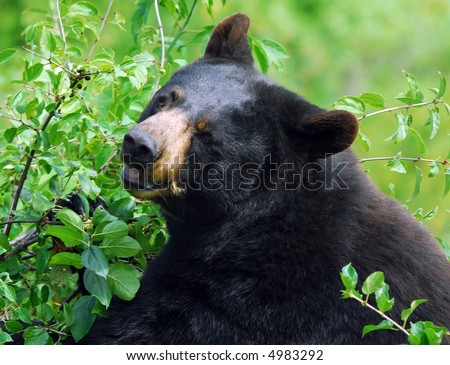 A black bear in it's natural environment - stock photo