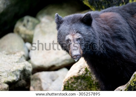 A black bear looking at photographer