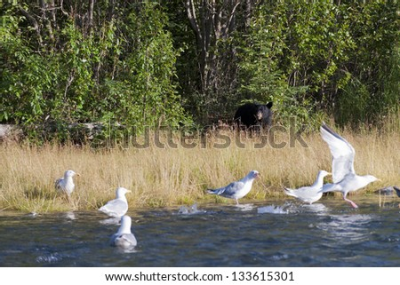 A black bear looking at you behind seagull in Alaska - stock photo
