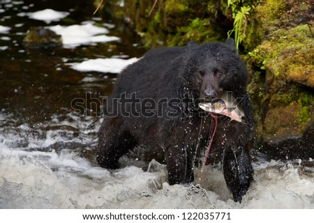 A black bear looking at you while eating a salmon fish in a river