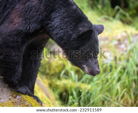 A black bear looking down at the salmon pooled in the stream below, profile