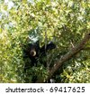 A black bear om a tree in Smoky Mountain National Park - stock photo