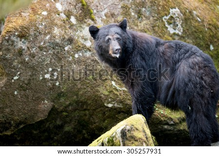 A black bear pauses on a rock to look over his shoulder at photographer