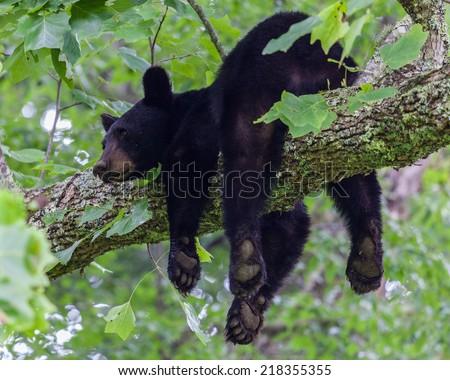 A black bear resting on a tree branch, Great Smoky Mountains National Park, TN, USA - stock photo
