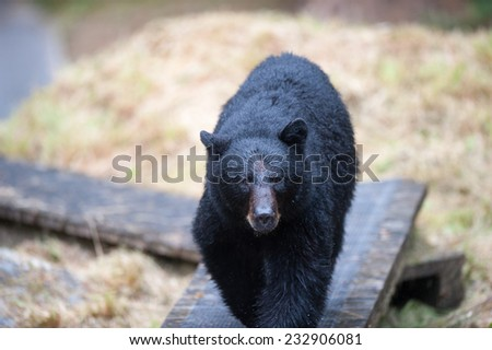 A black bear walks on a man-built pathway toward a group of people at the observatory - stock photo