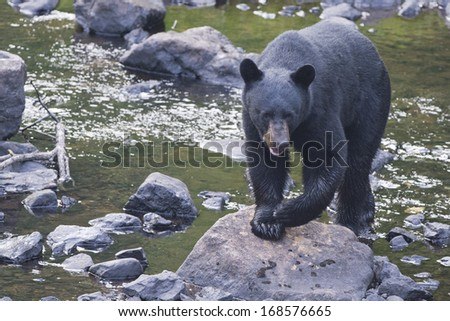 A black bear while coming to you across the creek - stock photo