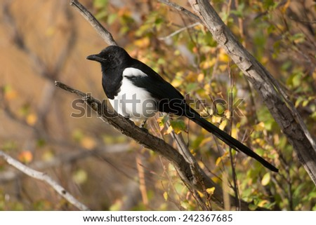 A black-billed magpie perched on a branch in Rocky Mountain National Park in the fall - stock photo