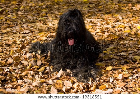 A black briard lying on dry leaves