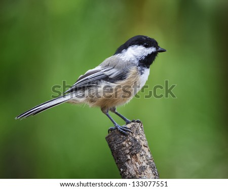 A Black-cap Chickadee perched on a stick with a green background.