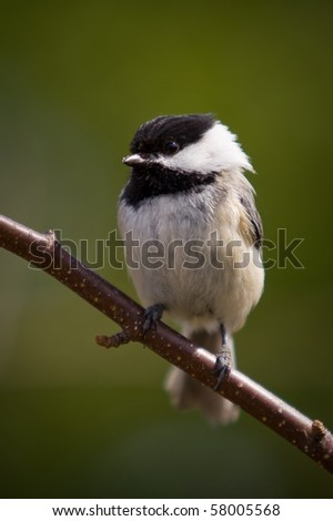 A black-capped Chickadee, also called Poecile Atricapillus, is perched on a branch - stock photo