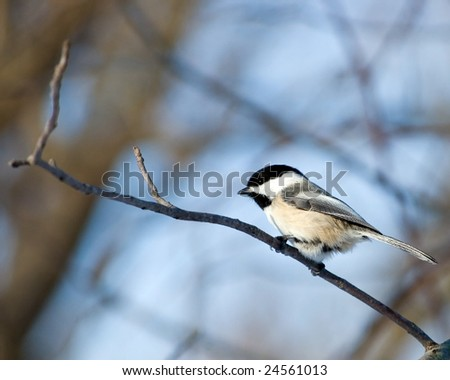 A black-capped chickadee perched on a tree branch.