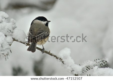 A Black Capped Chickadee (Poecile atricapillus) perched on a snow covered Evergreen during a snow storm in winter. - stock photo