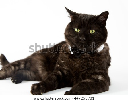 A black cat in a tuxedo collar on a white background.