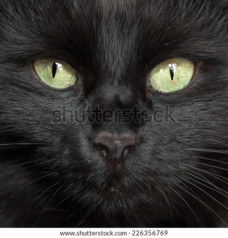 A black cat's face with a black nose. - stock photo