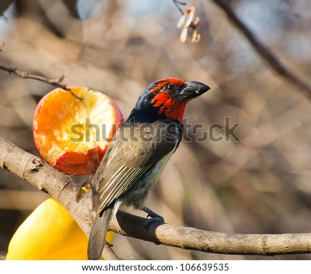 A black collard Barbet perched in front of a half eaten apple