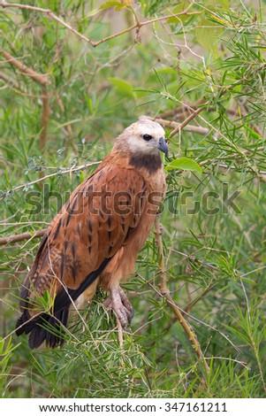 A Black collared Hawk (Busarellus nigricollis) sitting in wetland vegetation, Pantanal, Brazil - stock photo
