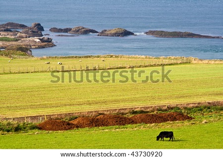 a black cow enjoying its meal in the middle of a wide grass field by a beautiful coast all on its own. there are sheep at the background - stock photo