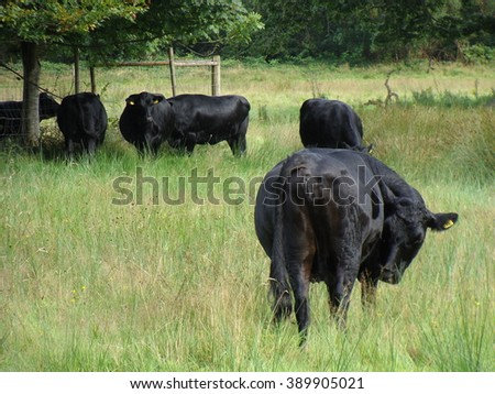 A black cow standing in the grass, with a herd of cows in the background - stock photo